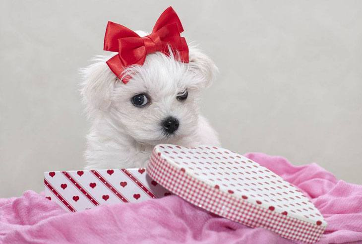 maltese puppy looking shy