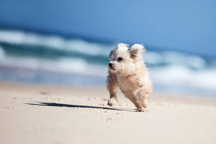 maltese puppy running on the beach