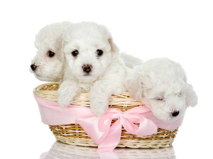 maltese puppies in a basket
