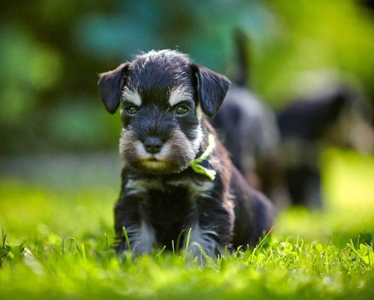 miniature schnauzer puppy on butterfly alert