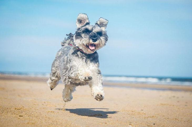 mini schnauzer running on the beach