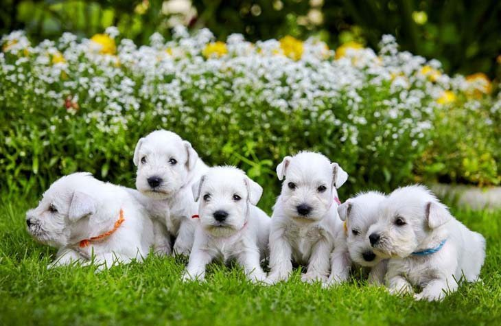 cute mini schnauzer puppies having fun