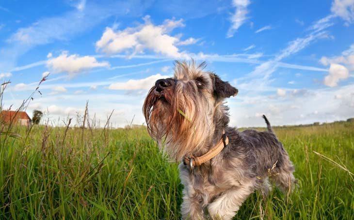 mini schnauzer puppy loving the outdoors