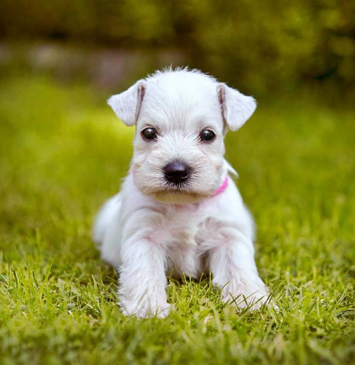 mini schnauzer puppy in a grassy field