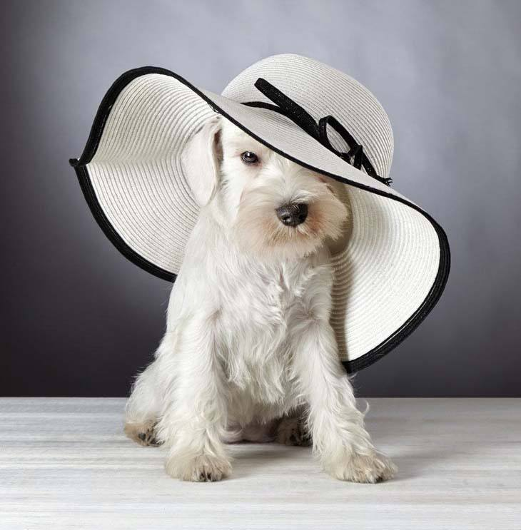 fashionable minature schnauzer posing wearing a hat