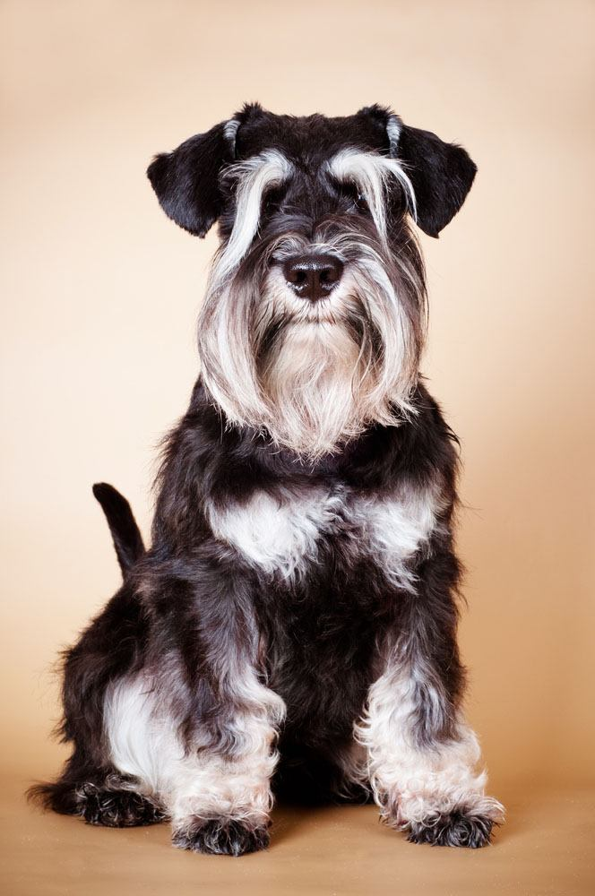 mini schnauzer can't wait to go for a walk