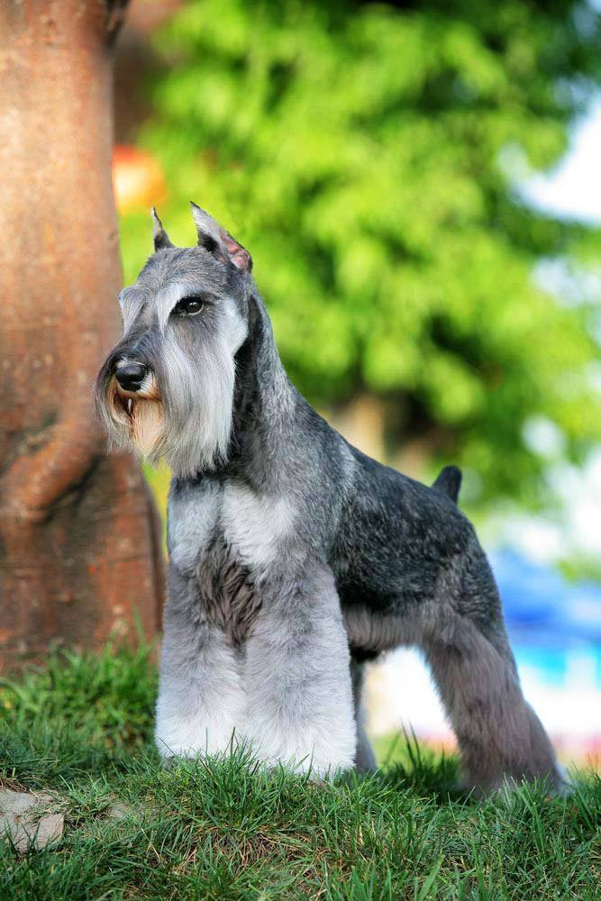 minature schnauzer posing for a picture