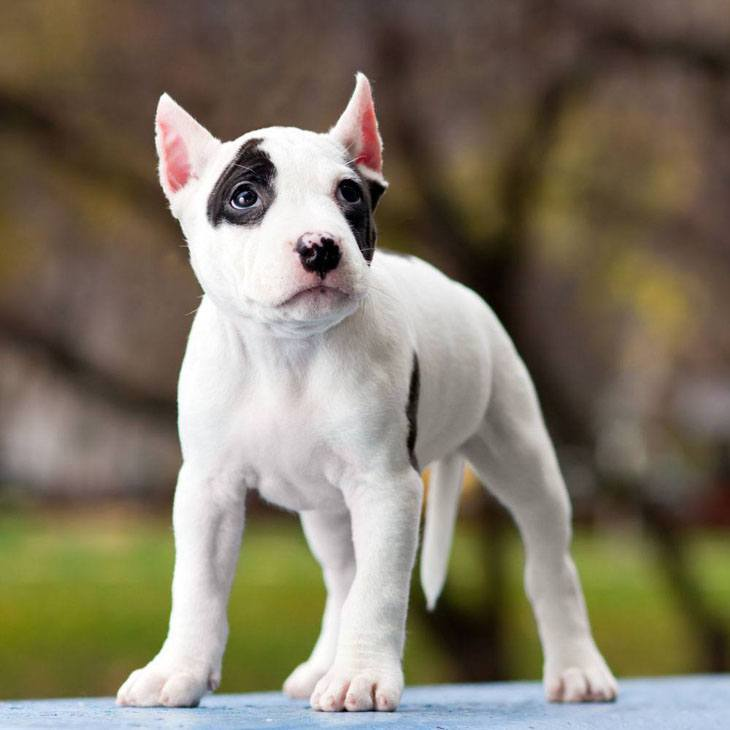 cute pitbull puppy looking for some fun