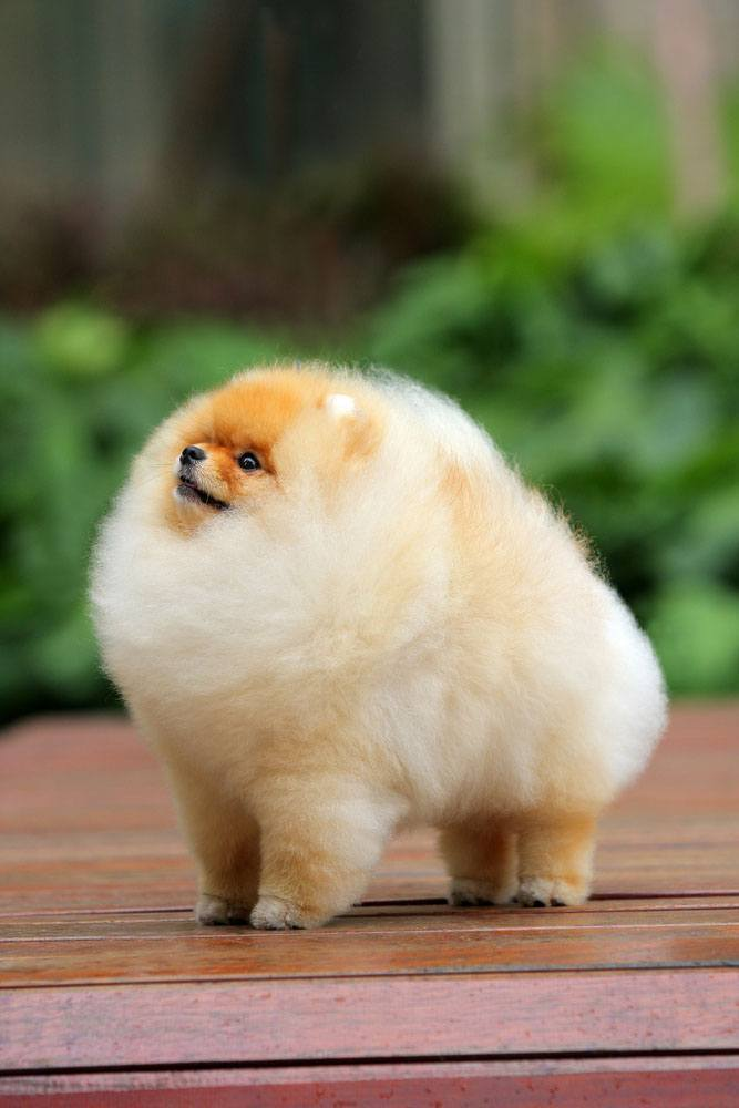 pomeranian pup with very fluffy hair