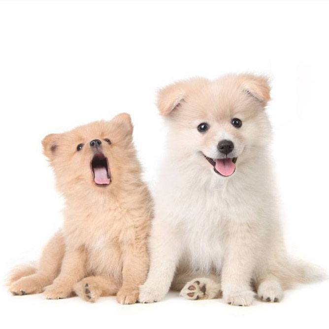 two pomeranian puppies ready to play