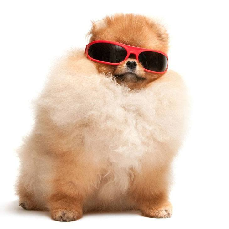 funny pomeranian wearing sunglasses