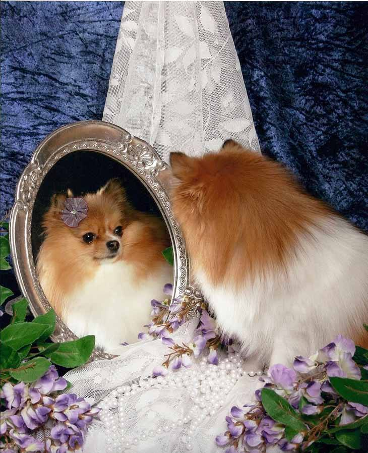 pomeranian getting ready for a day of shopping