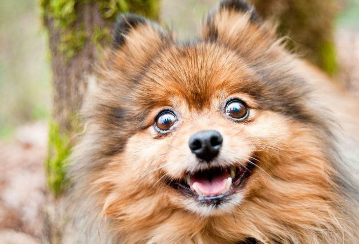 pomeranian surprised you ran out of treats