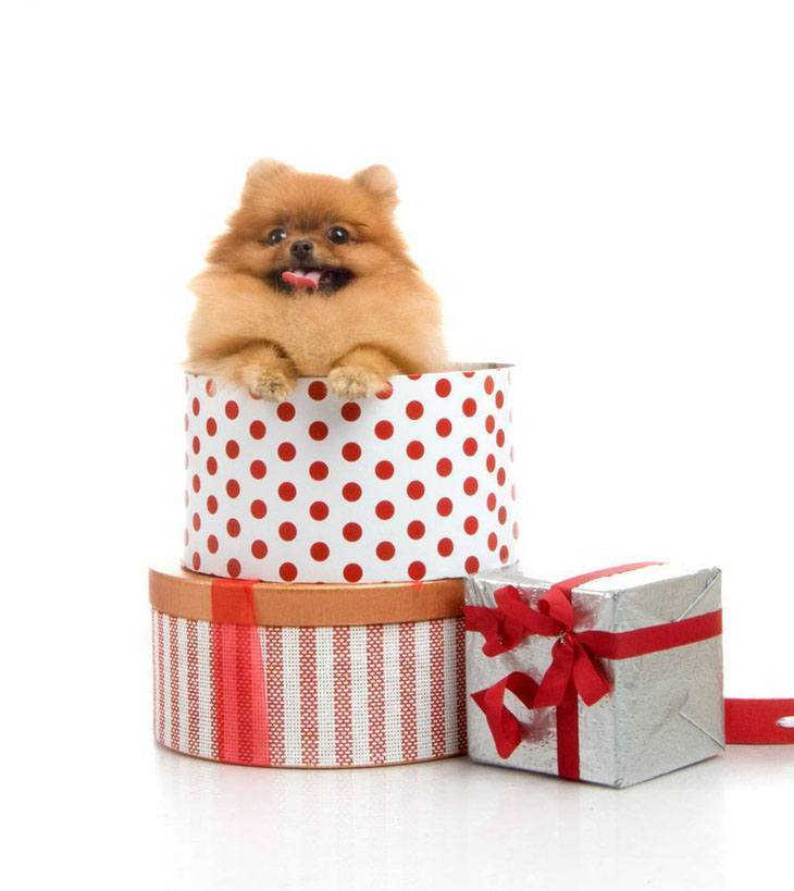 pomeranian puppy jumping out of a gift box