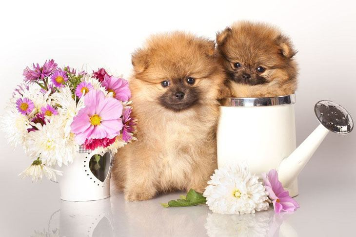 cute pomeranian puppies posing with flowers