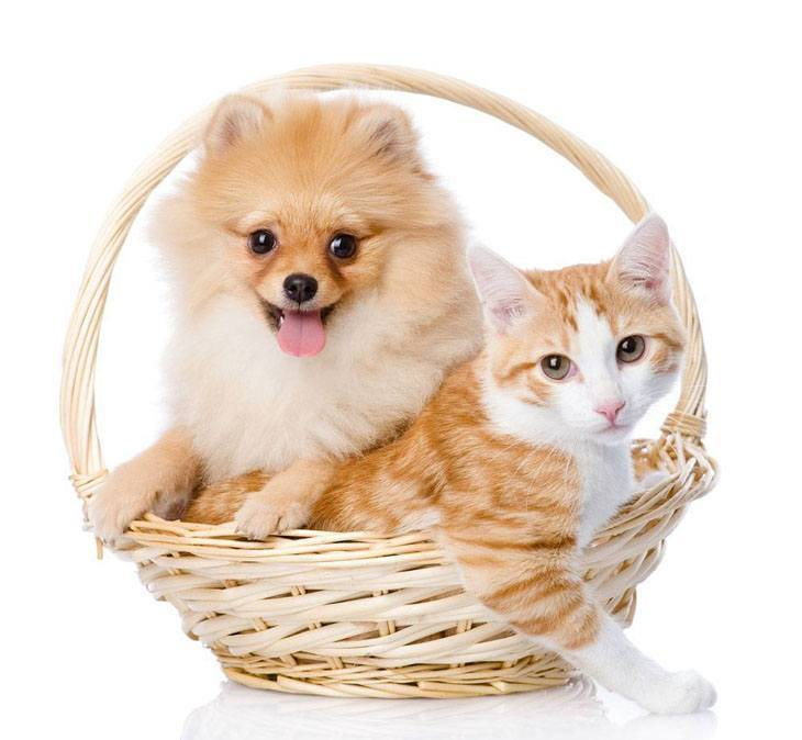 pomeranian puppy with his cat buddy