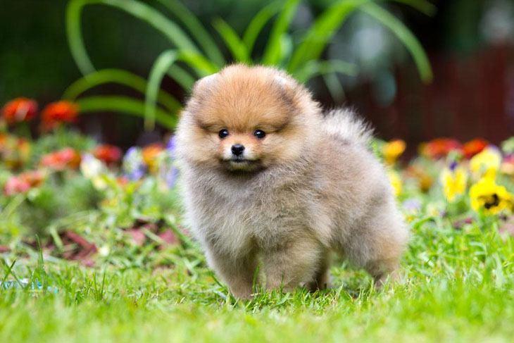 pomeranian puppy playing in a grassy field
