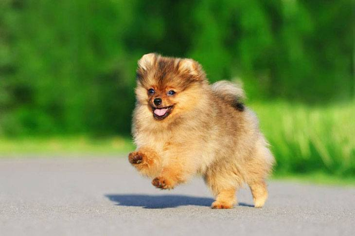 pomeranian puppy prancing
