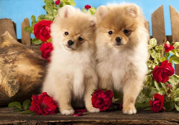 two pomeranian dogs looking for trouble