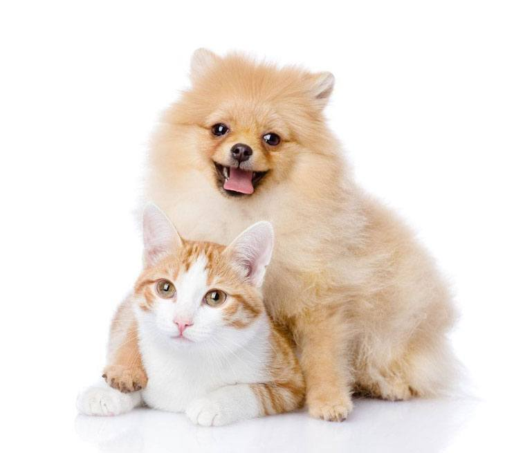 pomeranian and cat that are buddies
