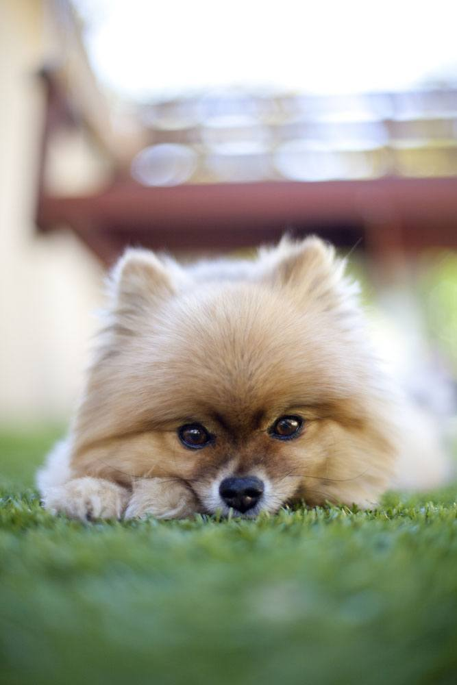 pomeranian pup watching you