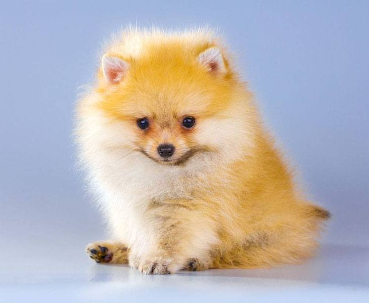 this pomeranian puppy thinks she's cute
