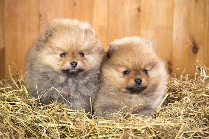 pomeranian puppies watching something