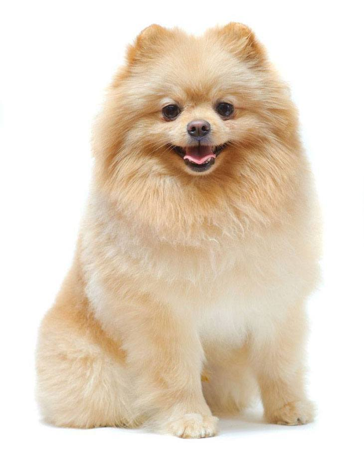 pomeranian dog watching you so it can follow