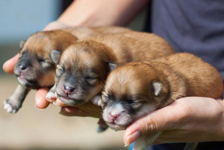 pomeranian puppies taking a nap
