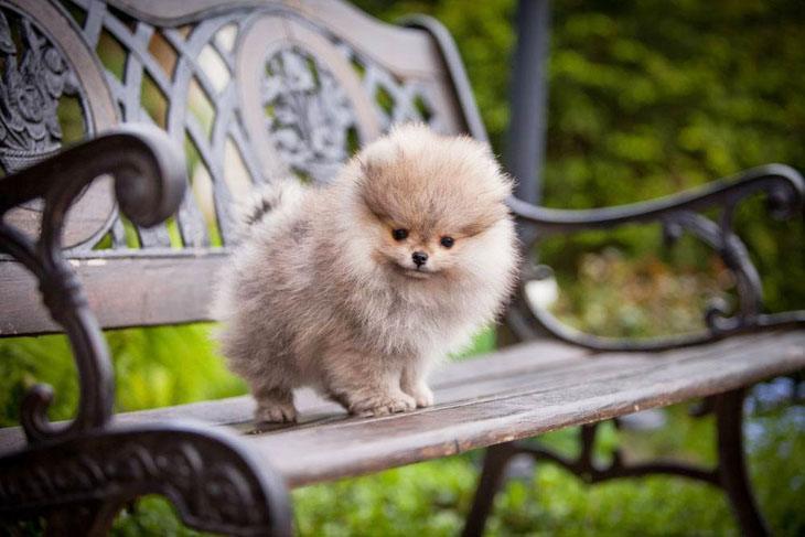 lonely pomeranian puppy