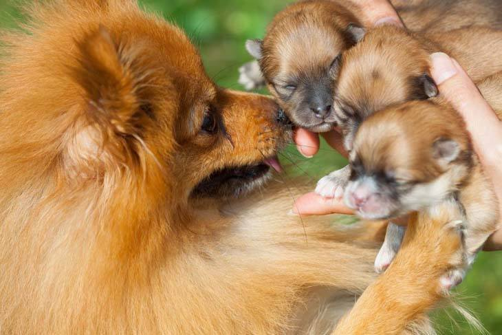 pomeranian puppies and their mama