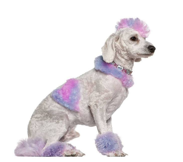 multicolored poodle