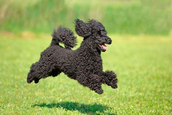 beautiful black poodle running for a ball