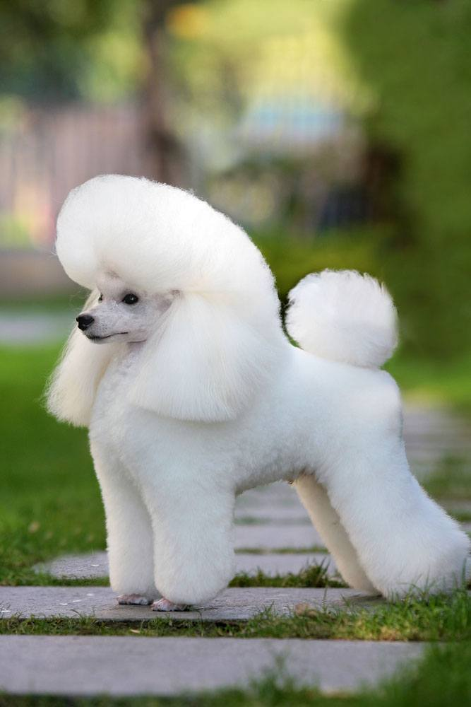 beautiful white poodle posing for a picture