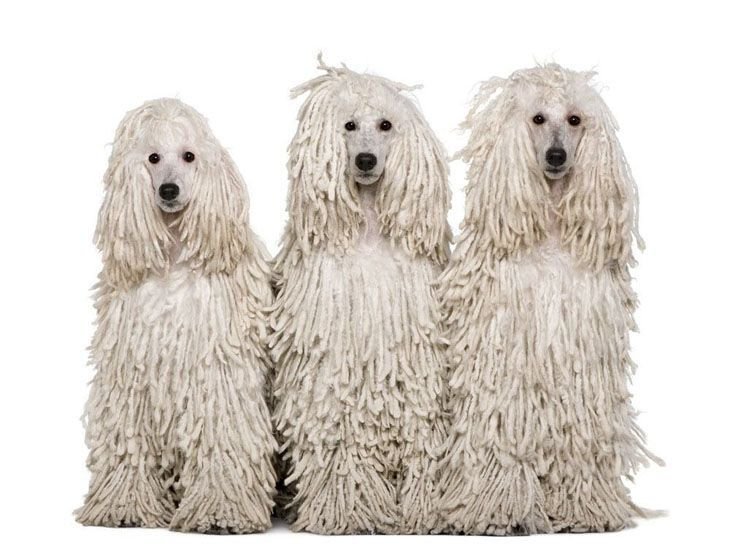 three white corded standard poodles