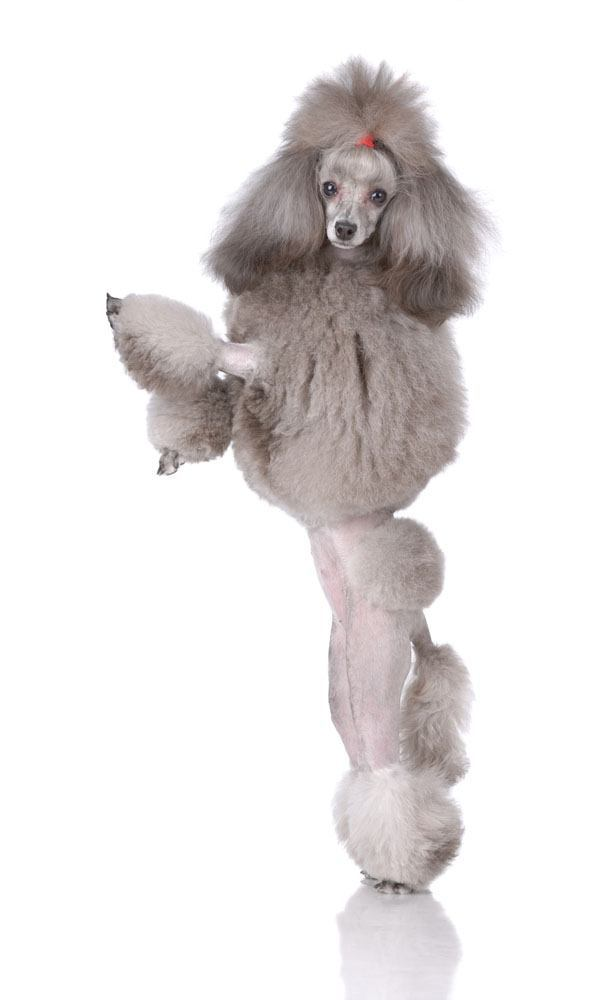 beautiful poodle standing up