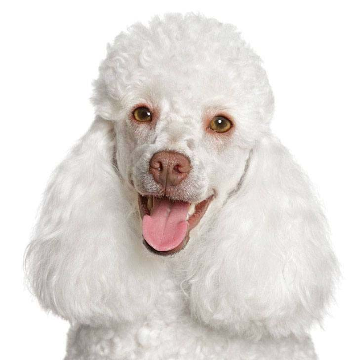 beautiful white poodle smiles at the camera