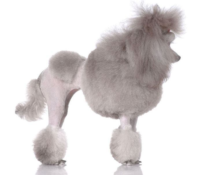 poodle with beautiful hair style
