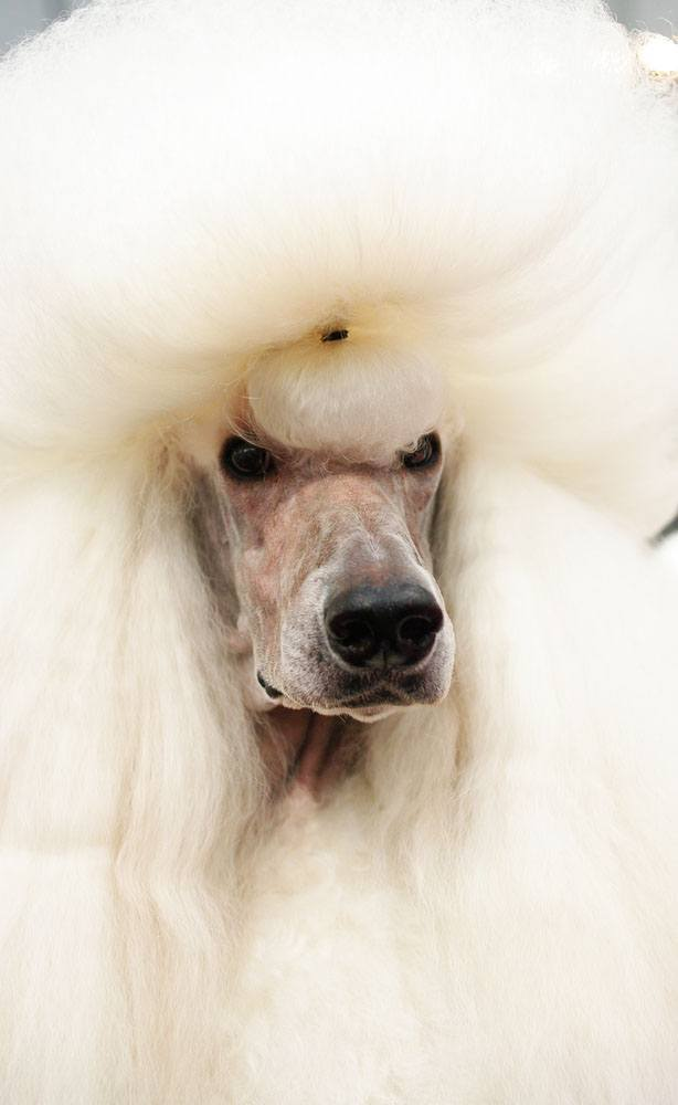 poodle with large hair