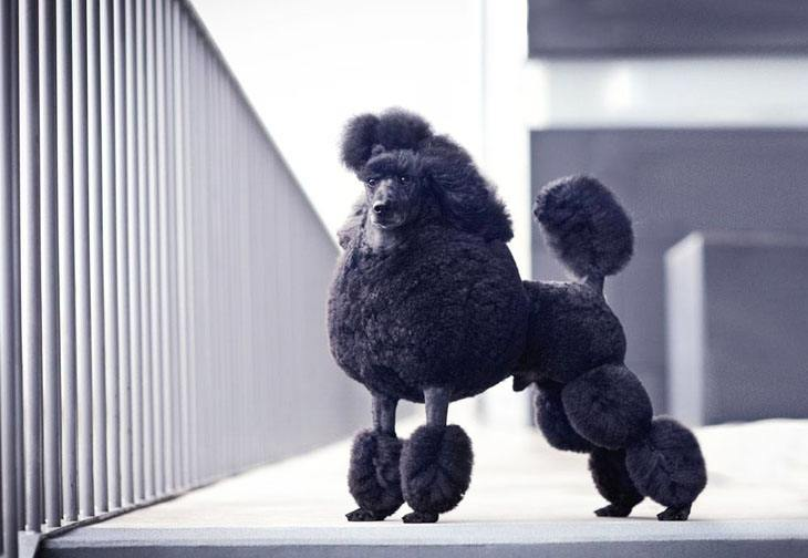 black standard poodle posing for the camera