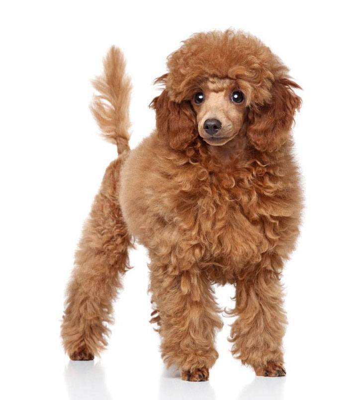 beautiful brown poodle