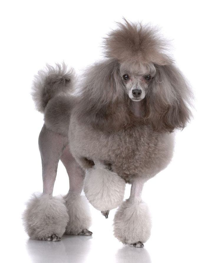 poodle with exotic haircut