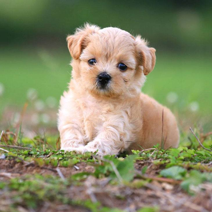 cute poodle puppy looking for a playmate
