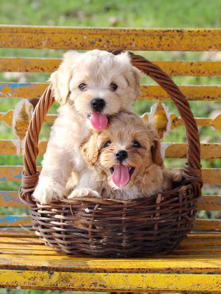 two poodle puppies sitting in a basket
