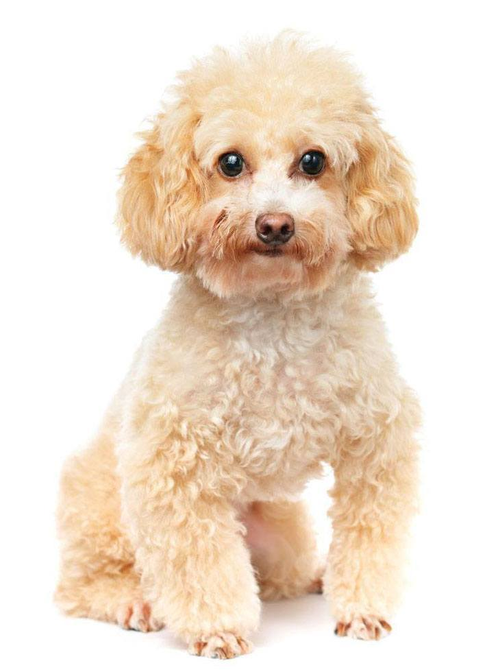 cute poodle puppy looking for some fun