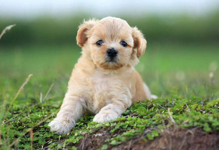 cute poodle puppy ready to play