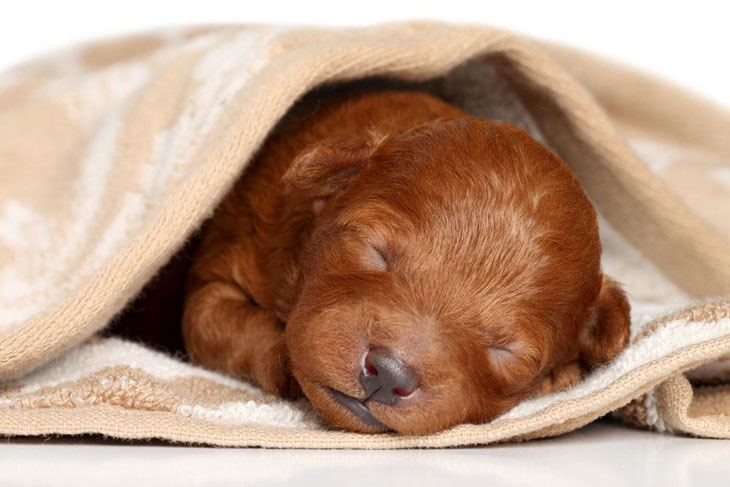 newborn poodle puppy is fast asleep