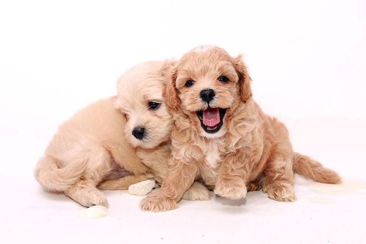 two poodle puppies wanting to play