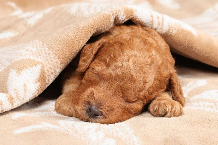 poodle puppy taking a nap