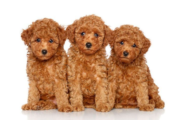 three red poodle puppies